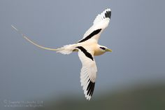 The white-tailed tropicbird Phaethon lepturus, tropical Atlantic, western Pacific and Indian Oceans