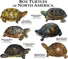 Box Turtles of North America Poster Print – Box Turtle Care Tortoise Care, Tortoise Turtle, Land Turtles, Box Turtles, Kinds Of Turtles, Reptiles And Amphibians, Mammals, Box Turtle Habitat, Tierischer Humor