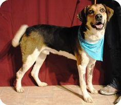 Weatherford, TX - Hound (Unknown Type) Mix. Meet Lester a Dog for Adoption. He's been at the shelter for a while and needs to be adopted ASAP. Please give this guy a new lease on life!! 817-598-4111. This Weatherford Animal Shelter is a kill shelter.