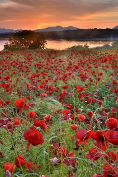 Poppy Field Photograph - Field Of Poppies by Guido Montanes Castillo