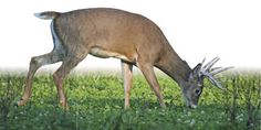 Digestion — A Piece of the Deer Nutrition Puzzle: Analysis of the Ruminant Digestive System – Part 1
