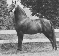 UVM Flash, 1958 Morgan stallion by Upwey Ben Don and out of Norma. American Morgan Horse Association