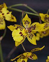 Odontoglossum Peruvian