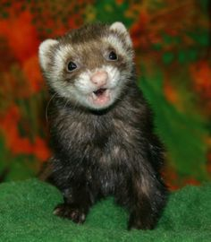 ferret is acting funny 58