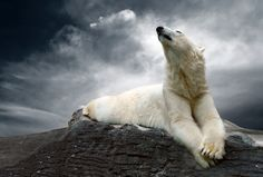 Polar Bear Conservation: International Polar Bear Day