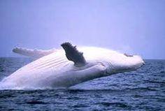 ballena beluga - Buscar con Google