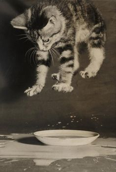 A gelatin silver print of a kitten splashing in a saucer of milk, taken 3 July 1958 by Terry Fincher for the Daily Herald.