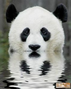 Although giant pandas seldom have an opportunity to swim in the wild, they can swim. In fact, giant pandas are fairly strong swimmers. Niedlicher Panda, Panda Bebe, Panda Facts, Facts About Pandas, Panda Mignon, Panda Lindo, Baby Animals, Cute Animals, Wild Animals