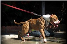 American PitBull Terrier ,y goodness the muscle is awesome