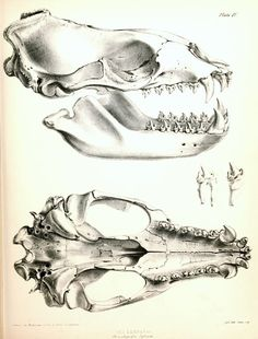 Skull of the leopard seal (hydrurga leptonyx), 1839 to 1843.