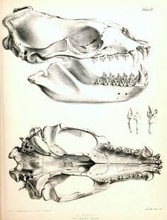 Skull of the leopard seal (hydrurga leptonyx), 1839 to 1843.