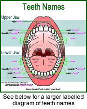 Teeth names order diagram data wiring diagrams list of dentists dental assisting pinterest tooth nerve teeth rh pinterest com tooth diagram chart human teeth names diagram ccuart Gallery