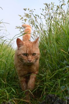 Ginger Tom Cat Walking Through Tall Grass.