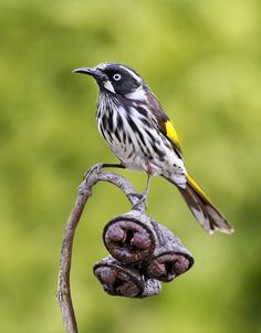 New Holland Honeyeater__Phylidonyris novaehollandiae; is one of Australias most energetic birds. Fueled up on high-energy nectar taken from the flowers of banksias, eucalypts, grevilleas and other. Kinds Of Birds, Love Birds, Beautiful Birds, New Holland Honeyeater, Bee Eater, Australian Birds, Bird Pictures, Victoria Australia, Exotic Birds