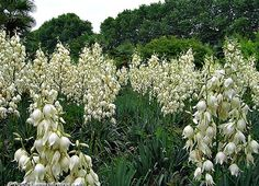 Yucca Collection,  8 showy species, 50 seeds, cold hardy, drought tolerant, desert loving beauties