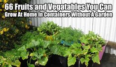 66 Fruits and Vegatables You Can Grow At Home In Containers Without A Garden
