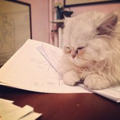 persiancatworld:  #persiancat on ig by http://ift.tt/1fefBAJ