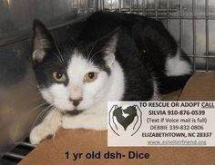 DICE IS A 1-YEAR-OLD SWEET CAT IN NEED OF A FOSTER/ADOPTER/RESCUE ASAP! PLEASE FOLLOW CONTACT INFORMATION ON LISTING. THANK YOU!