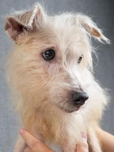 Adopt Duchess, a lovely 9 years Dog available for adoption at Petango.com…