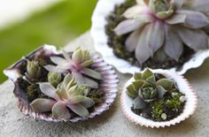 hens and chicks succulents.     a plant idea my husband might actually like, he really likes the beach and hens & chicks, why not combine them