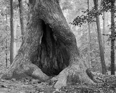 Hollow Tree On the Noland Trail by Brad Buszard, via Flickr