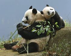 If you're too lazy to climb on your dad's back, do… Happy Animals, Animals And Pets, Cute Animals, Cute Animal Photos, Animal Pictures, Panda Tree, Panda Facts, Panda's Dream, Baby Panda Bears