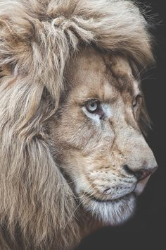 "vividessentials: ""Panthera Leo 