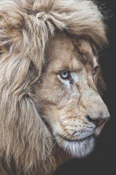 "vividessentials: ""Panthera Leo | vividessentials "" His mane is GLORIOUS."