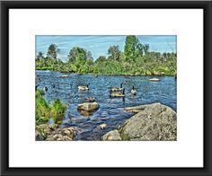 Swimming ducks bird photography rocks and water by EdWarickFineArt