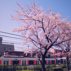 cherry blossoms and trains