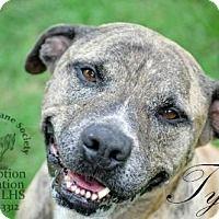 Pit Bull Terrier/Labrador Retriever Mix Dog for adoption in Leesburg, Florida - Tyson