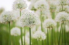 Allium giganteum, white (alba) form.