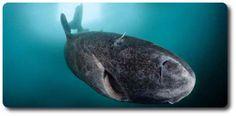 Greenland Shark: http://www.sharksider.com/greenland-shark/
