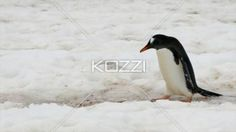 penguin walking on snow. - Video of a penguin walking on snow.