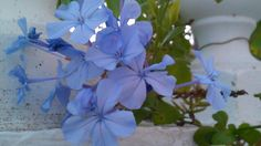 Piombaggine - gelsomino azzurro