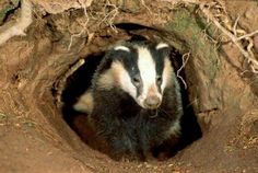Dessertpin - Badger Unearths Medieval Graves, Leads Archaeologists To Warrior Burial Site In Germany Fun Facts About Animals, Animal Facts, Pine Marten, Honey Badger, British Wildlife, Facts For Kids, Animal Habitats, Predator, Mammals