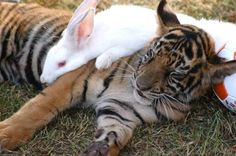 The Tiger & the Rabbit: A Cute Love Story