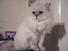 Friend Mode: Most Beautiful cat Types Cute Cats Photos, Cute Animal Pictures, Kittens Cutest, Cats And Kittens, Animals For Kids, Cute Animals, Singapura Cat, Popular Cat Breeds, Cat Empire