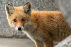 Red Fox Cub by Nobuyuki Shiotani - National Geographic Your Shot