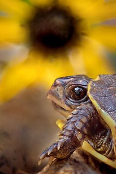 Little turtle on sunflower background...