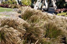 Restio festuciformis mass planted at the Potters Childrens garden at Auckland's Botanic Gardens