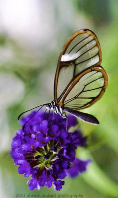 Glasswing By Sharon Joubert