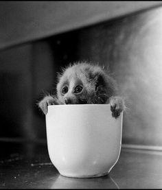 Slow loris in a cup