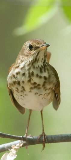 Tar sands: A threat to New England's birds. Photo is of a Hermit Thrush. http://blog.nwf.org/2014/06/from-pristine-bird-haven-to-toxic-trap-canadas-tar-sands-threaten-new-england-birds/