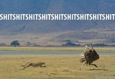 Funny Cheetah Chasing Ostrich Picture Shit