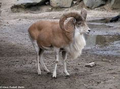 urial transcaspiano. (Ovis orientalis arkal)