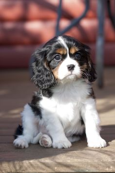 This is Elvis, our second Cavalier King Charles Spaniel. He has the sweetest temperament and is a complete joy to be around <3 . He is about 8 weeks old in this photograph.