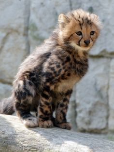 Cute Funny Animals, Cute Baby Animals, Animals And Pets, Cute Cats, Beautiful Cats, Animals Beautiful, Big Cats, Cats And Kittens, Baby Cheetahs