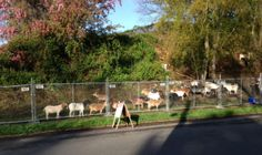 #goatvet likes this article about Seattle renting #goats to clean up weeds & vegetation