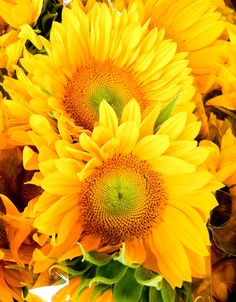 Gorgeous Sunflowers by Averie Sunshine